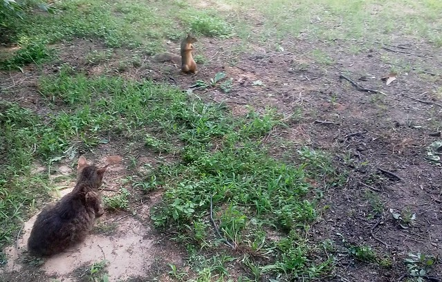 Squirrel teasing a feral cat