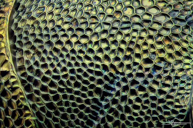 Piel de insecto 50x