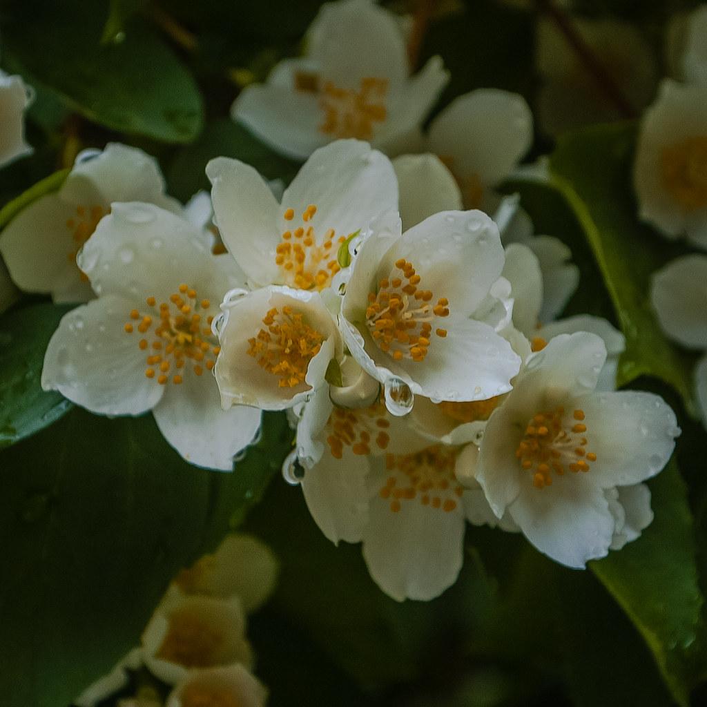 В капельках! Beautiful bloom. 12:01:13 DSC_3256-2