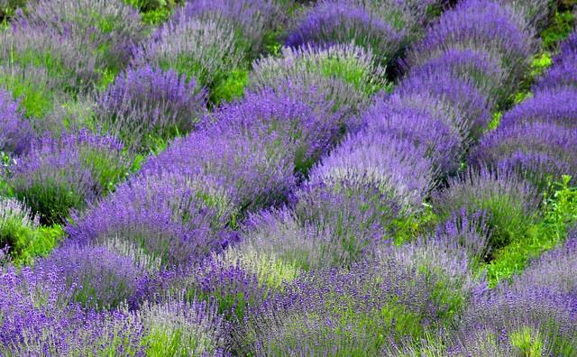 Lvender / Levendula