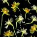 59709.01 Narcissus