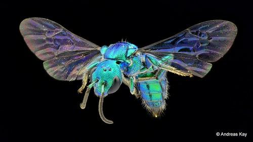 Sweat Bee, Temnosoma sp., Halictidae