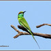 8883 - green bee eater