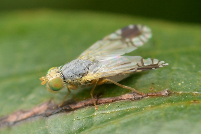 Tephritid Fruit Fly on a leaf of California Coffeeberry