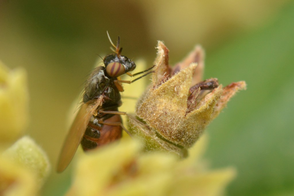 Odd-looking fly on California Coffeeberry