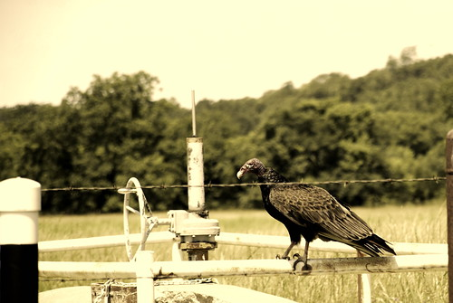 Turkey Vulture Osage County