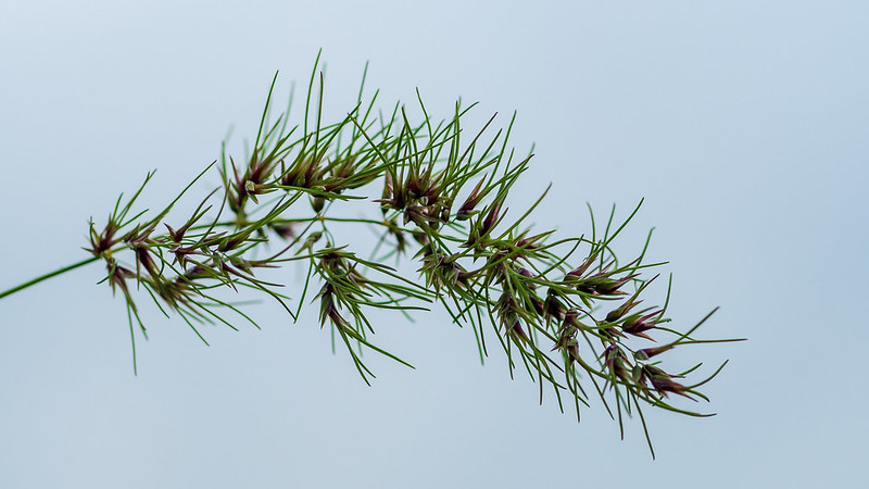 Bulbous bluegrass (Poa bulbosa)