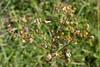 Seed heads_DSF5024