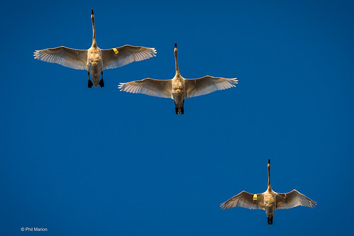 Swans in flight - Woodbine Beach, toronto | by Phil Marion (173 million views - THANKS)