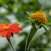 Tithonia_rotundifolia_(II),_8.5.18