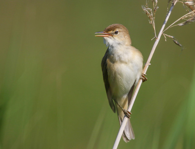 Rouxinol-pequeno-dos-caniços / Carricero común / Eurasian Reed-Warbler