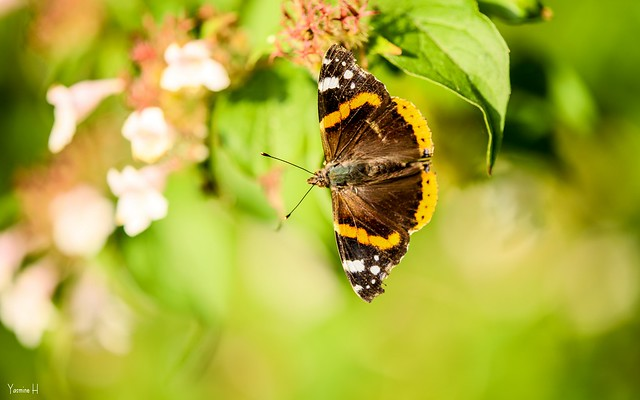 Butterfly - 6923