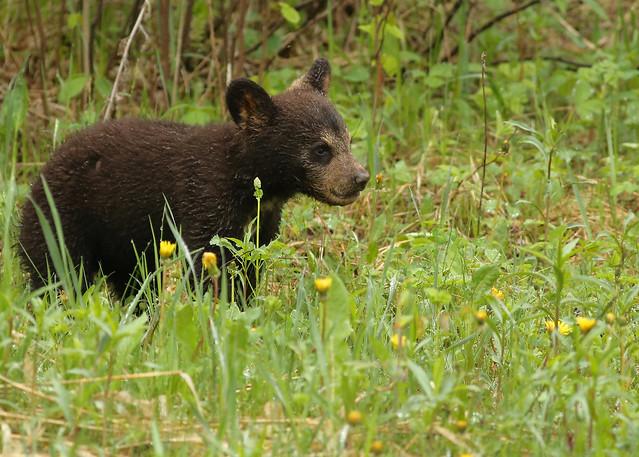 Black Bear cub...#33