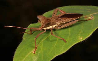 Leaf-Footed Bug (Prionolomia gigas, Coreidae)