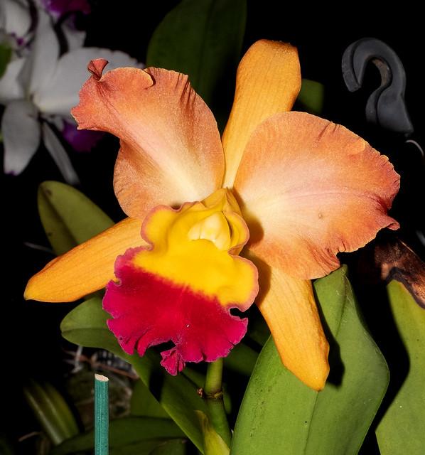 Darwin 2019 Orchid & Bromeliad Exposition, Northern Territory, Australia