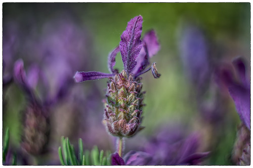 Lavender  - DSC00937-bewerkt.jpg