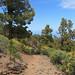La Palma - Codeso de Cumbre
