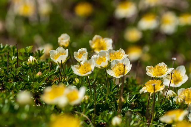お花畑に咲くチングルマ