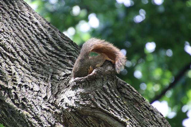 3/366/4020 (June 14, 2019) -Fox Squirrels (and friends) on a Spring Day at the University of Michigan - June 14th, 2019