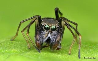 Jumping spider, Sarindini, Salticidae