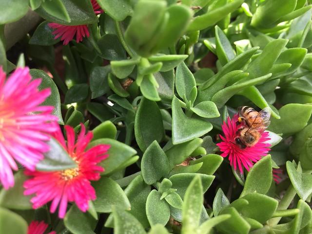 Bee on Aptenia cordifolia