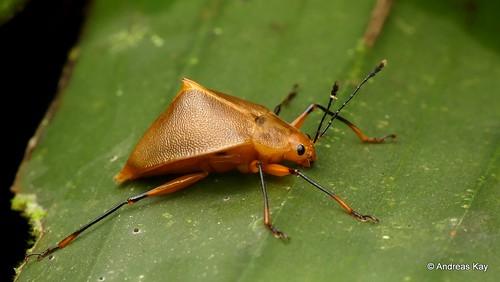 Fungus Beetle, Ellipticus spinifer, Erotylidae