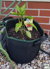 Pflanzsack aus Vliess 20L mit Paprikapflanze - 14.06.19