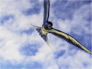 Dive-bomb attack of an Arctic tern (Sterna paradisaea)