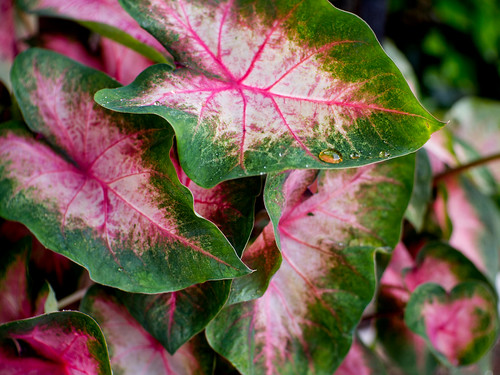 Caladium, after rain | by Thomas Cizauskas