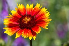 Blanket Flower 5888