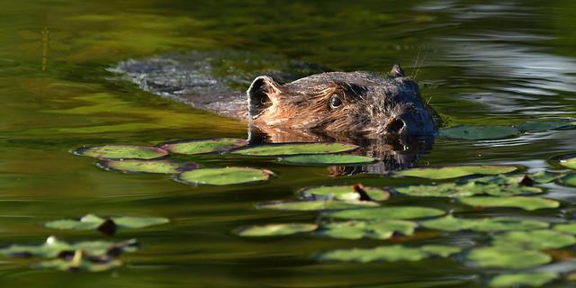 eager beaver . . .