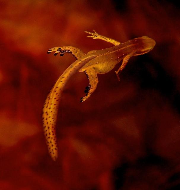 Newt Swimming