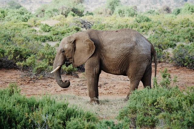 African Bush Elephant (L. a. africana)