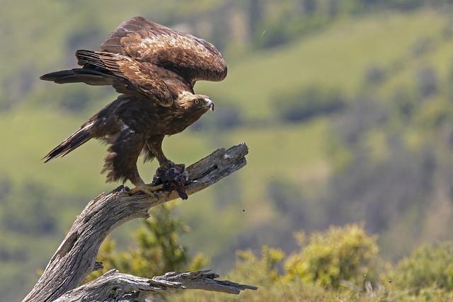 Golden Eagle (Pirenei)