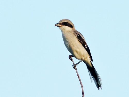 Loggerhead Shrike 03-20190612