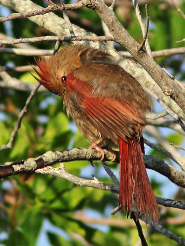 Northern Cardinal female preening 2-20190612
