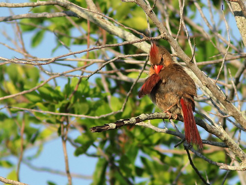 Northern Cardinal female preening 20190612
