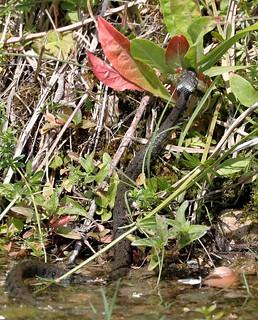 Grasssnake eat a Newt
