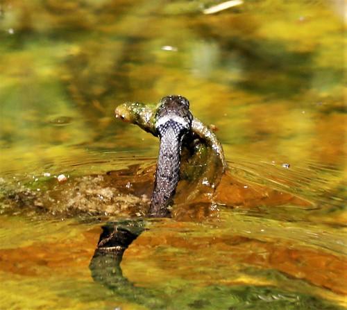 Grass-Snake eat a Newt