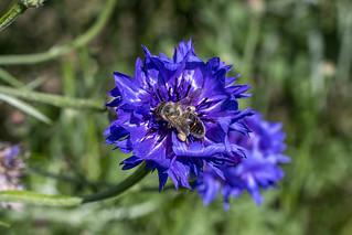 Abeille butinant / bee foraging