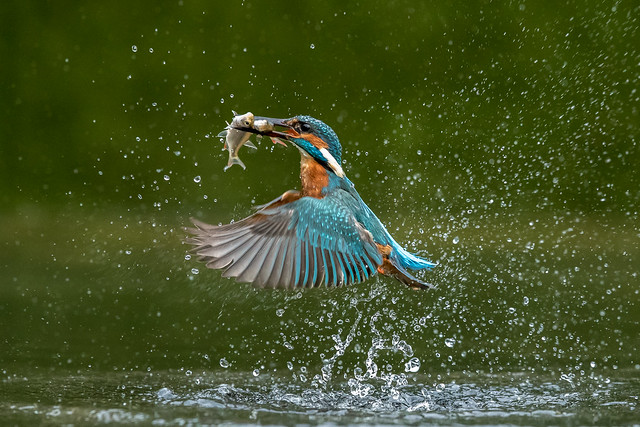 Male Kingfisher ( Alcedo atthis )
