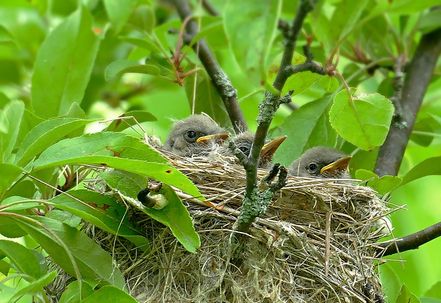 A nest of baby yellow warblers
