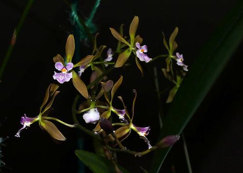 Encyclia Newberry Dark Stars hybrid orchid