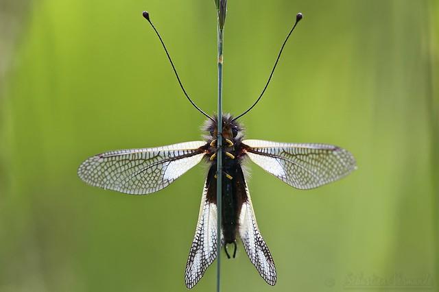Libelloides coccajus ♂ - Ascalaphe soufré ♂