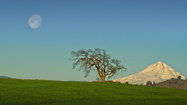 Moonset at Sunrise Mt Hood Lone Tree 4248 A