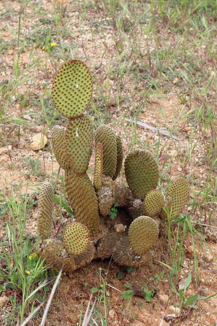 Opuntia microdasys (Lehm.) Pfeiff. - BG Barcelona