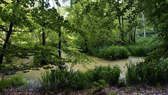In einem Sumpfwald bei Haby - Gelbe Schertlilien (Iris pseudacorus) (33a)