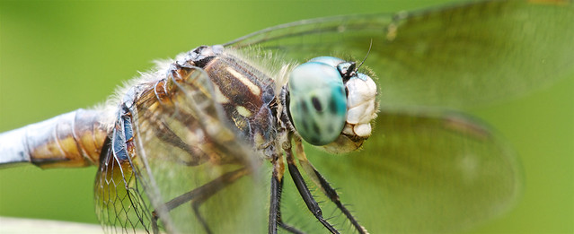 Blue-dasher Dragonfly