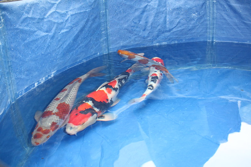 Young Holland Koi Show 2019