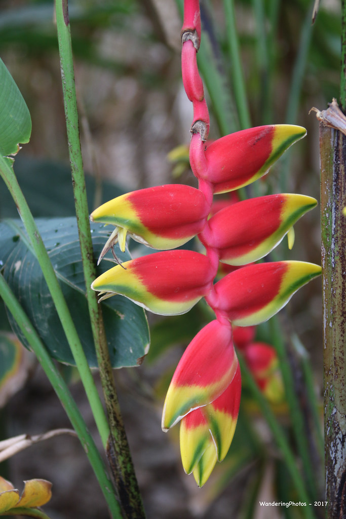 Flowers of Heliconia rostrata - Hanging Lobster Claw - Spice Garden - Periyar Kerala India
